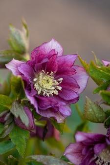 Hellebore grows in the garden. helleborus prince double red.