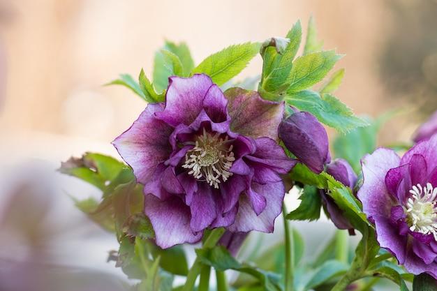 ヘレボルスは庭で育ちます。ヘレボルスプリンスダブルレッド。
