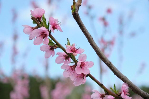 こんにちは春、木、桃の花の枝