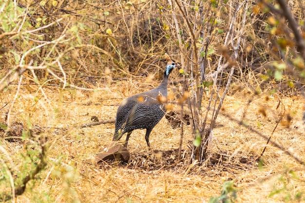 Цесарка в шлеме в кустах меру кения