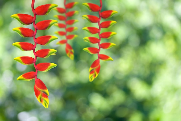 Цветок heloconia