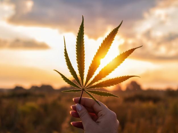 일출에 손에 대마 잎입니다. 의료용 대마초.