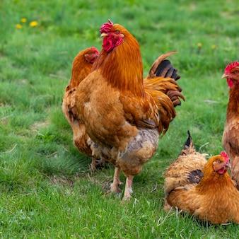 Курица и зеленая трава