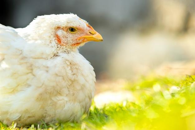 鶏は伝統的な田舎の納屋を食べます。緑の芝生の納屋の庭に座っている鶏のクローズアップ。放し飼い養鶏のコンセプトです。