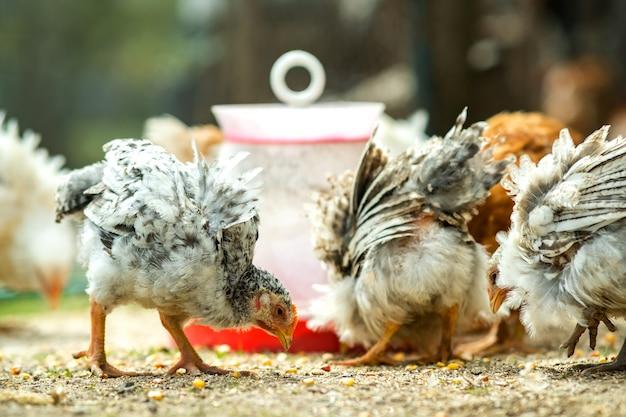 鶏は伝統的な田舎の納屋を食べます。鳥の餌箱で納屋の庭に立っている鶏のクローズアップ