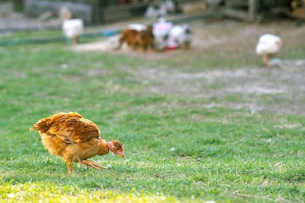 鶏は伝統的な田舎の納屋を食べます。緑の芝生と納屋の庭に立っている鶏のクローズアップ。放し飼い養鶏のコンセプトです。