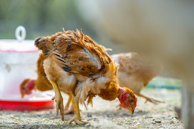 鶏は伝統的な田舎の納屋を食べます。緑の草と納屋の庭に立っている鶏のクローズアップ。放し飼いの養鶏のコンセプト。