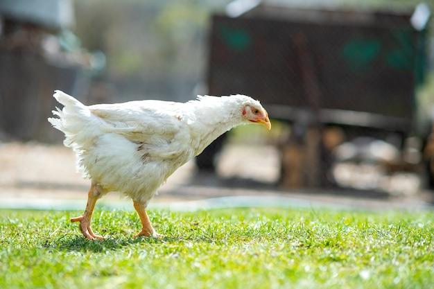 Курицы питаются традиционным сельским скотным двором. закройте курицу, стоящую на дворе сарая с зеленой травой. концепция птицеводства на свободном выгуле.