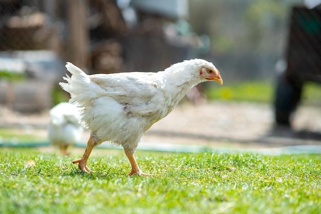 鶏は伝統的な農村の納屋を食べます。緑の芝生と納屋の庭に立っている鶏のクローズアップ。放し飼い養鶏のコンセプトです。