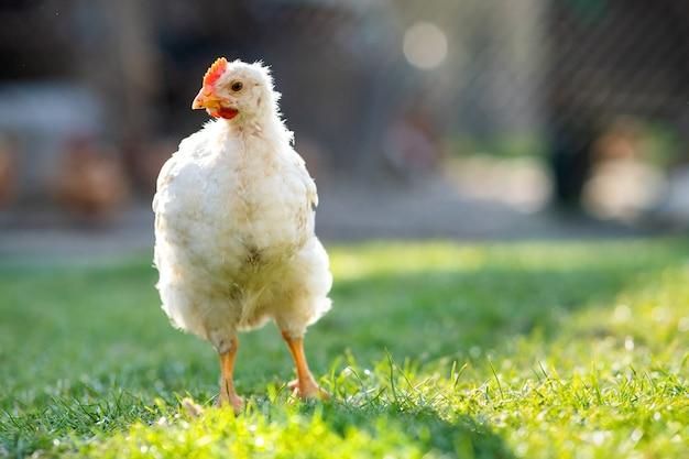 암탉은 전통적인 시골 앞마당을 먹습니다. 푸른 잔디와 헛간 마당에 닭 서 닫습니다