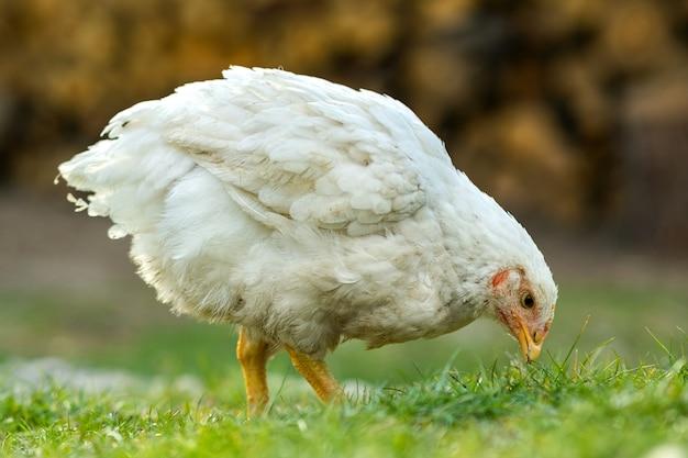鶏は伝統的な田舎の納屋を食べます。