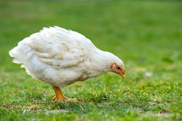 Курица кормится на традиционном сельском скотном дворе