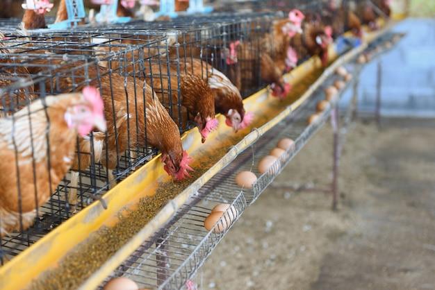 Cageの中の鶏