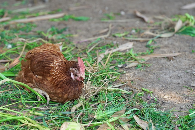Hen laying egg in the farm