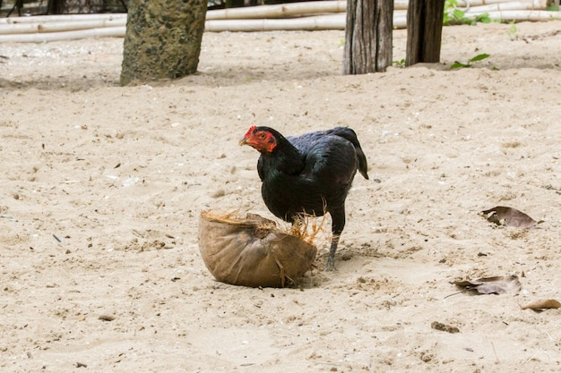 A hen looking for some food on dry coconut, rural scene.