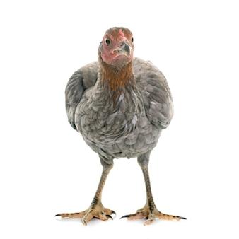 Hen spanish gamecock