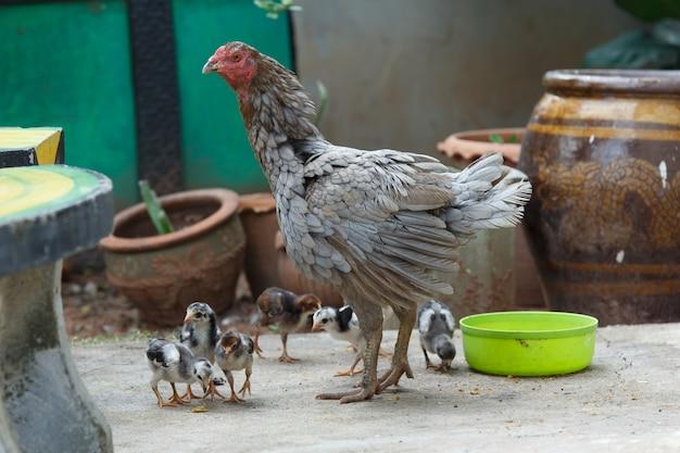 Курица с животными цыплят