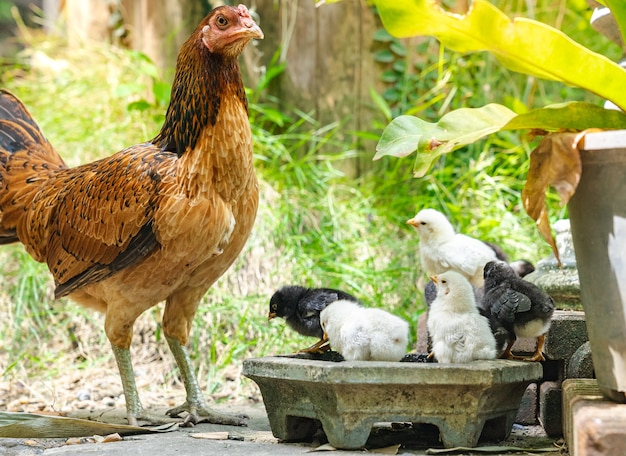 Hen  with its baby chick in back garden