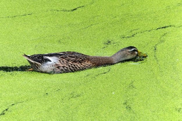 Курица лесная утка плывет по болоту, сквозь утиную траву.