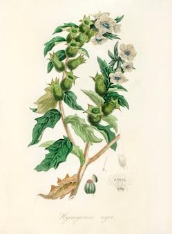 Henbane(hyoscyamus niger)医療植物学(1836年)からのイラスト