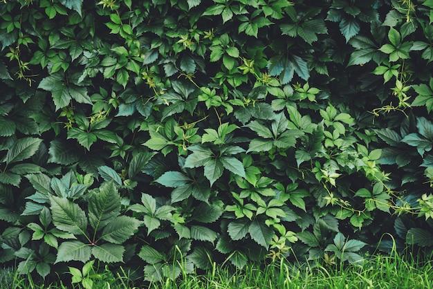 春に大きな緑の葉の生垣。単為結実henryanaの緑のフェンス。女の子らしいブドウの自然な背景。単為結実挿入物の花のテクスチャ。豊かな緑。植物園の植物。