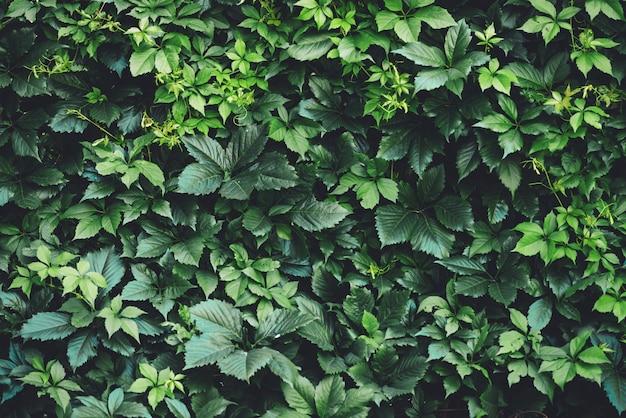 春に大きな緑の葉の生垣。単為結実henryanaの緑のフェンス。ガーリーなブドウの自然な背景。単為結実挿入物の花のテクスチャ。豊かな緑。植物園の植物。
