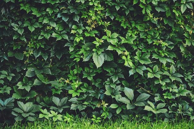 春に大きな緑の葉の生垣。単為結実henryanaの緑のフェンス。単為結実挿入物の花のテクスチャ。豊かな緑。植物園の植物。