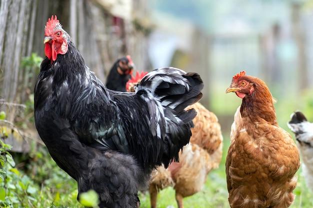 Куры кормятся на традиционном сельском скотном дворе. закройте курицы на дворе сарая. концепция птицеводства на свободном выгуле.