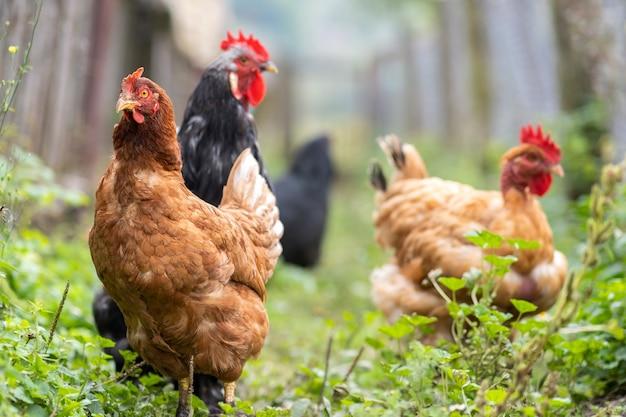 Куры кормятся на традиционном сельском скотном дворе