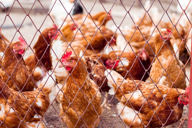 Hens in hen house. hens in bio farm. chicken in hen house. chickens in farm at sunny day