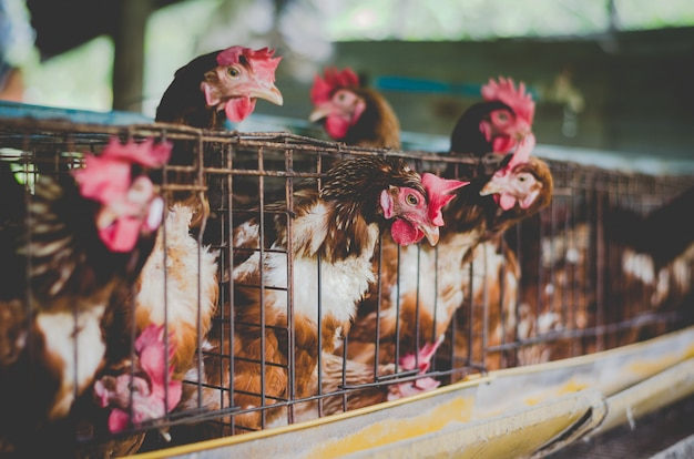 Hens in livestock cages industrial farm