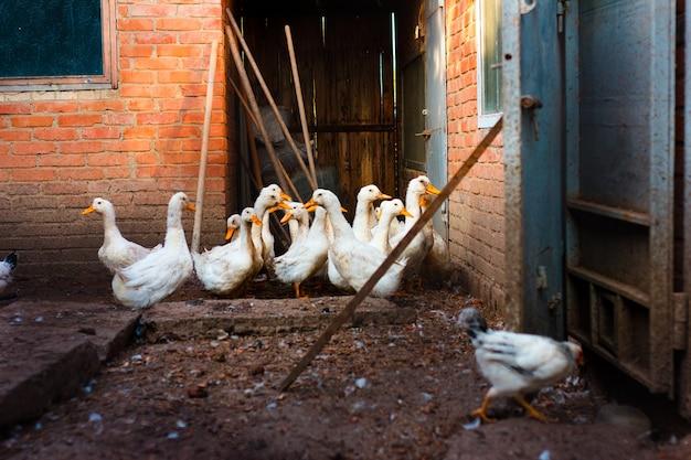 가금류 사육을위한 농장의 마당, 마당 주변을 걷는 암탉