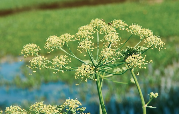 Heracleum , cow parsnip,  biennial and perennial herbs in the carrot family apiaceae