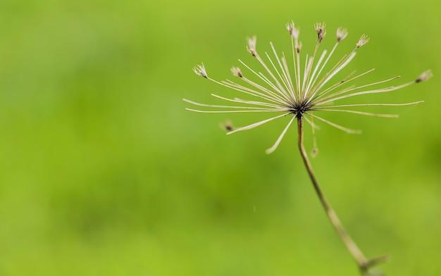 Heracleum mantegazzianum крупным планом