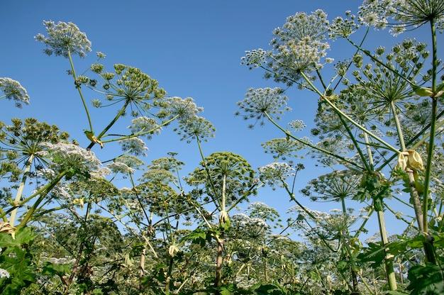 Гераклеум сосновский - цветковое растение.