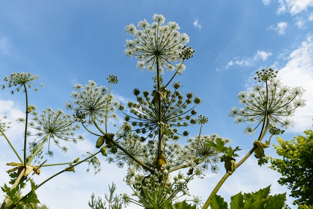 Гераклеум сосновский на фоне голубого неба, цветет пастернак
