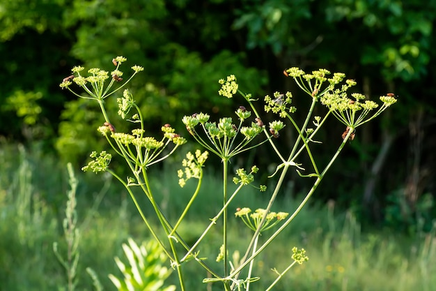 Heracleum sosnowskyi sosnowskys hogweed giant heads of cow parsnip seeds a poisonous plant family apiaceae on a meadow against grass with graphosoma lineatum