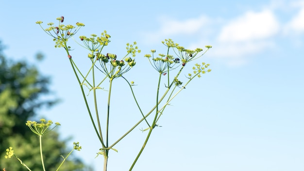 Heracleum sosnowskyi sosnowskysは、ハナウドの巨大な頭のハナウドが、graphosomalineatumの草地の牧草地に有毒植物セリ科の種をまきます。