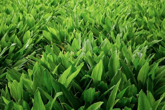 Herb fields fingerroot at rural organic