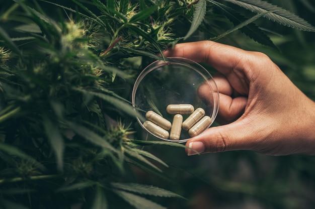 大麻雑草のハーブカプセル
