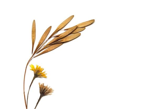 植物標本。木の種と白い背景、上面図、フラットレイの乾燥した野生の黄色の野原の花
