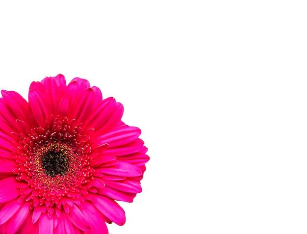 Цветок герберы на белом фоне