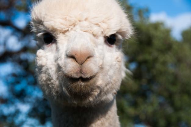 Herbivore alpaca camelid cute vicugna baby