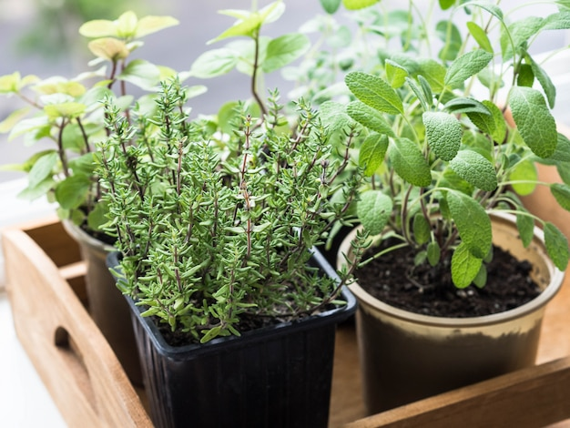 Herbs in pots in wood tray growing on a windowsill. thyme, mint, sage and oregano in pots on windowsill.