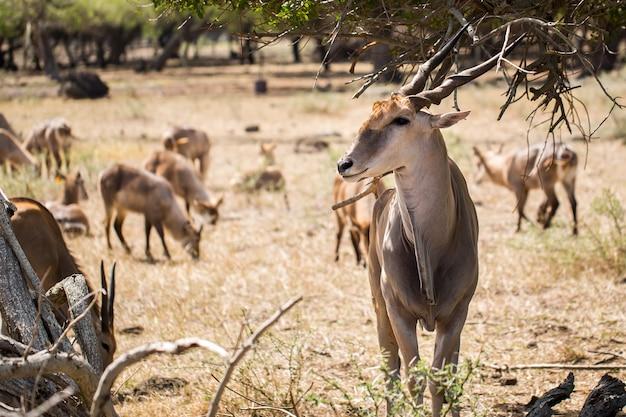 Herd of african deers in the wild. mauritius.