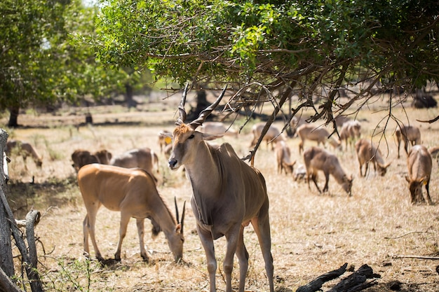 A herd of african deers in the wild. mauritius.