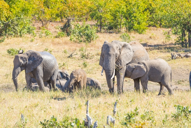 Herd of african elephants playing with water and mud in the bush.