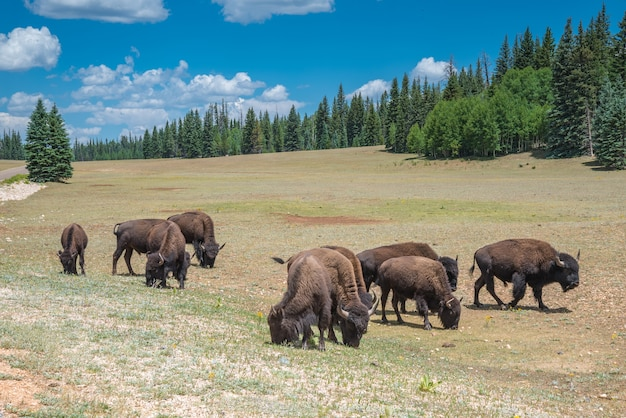 A herd of american bison graze in a meadow near grand canyon national park, arizona, usa