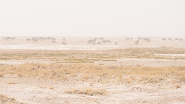 Herd of antelopes grazing in the desert pan. sand storm and fog. wildlife safari in the etosha national park, famous travel destination in namibia, africa.