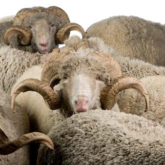 Herd of arles merino sheep, rams,